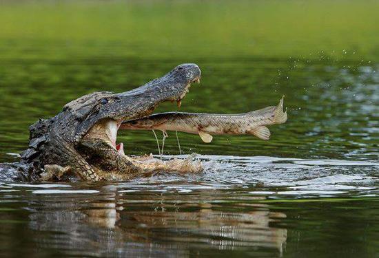 Не по щучьему веленью, но по крокодилью хотенью