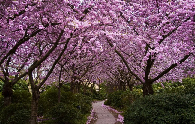 В саду сакуры