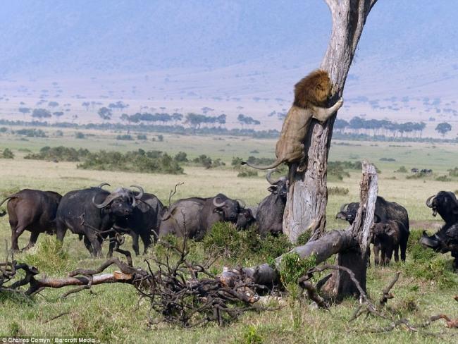Африканское бычье в деле