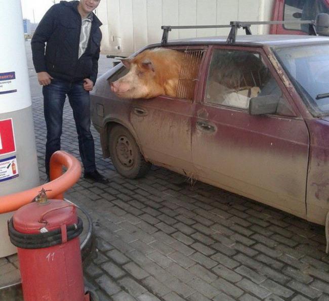 Лада - машина для перевозки навоза и свиней