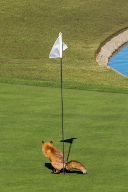 Противник игры в гольф