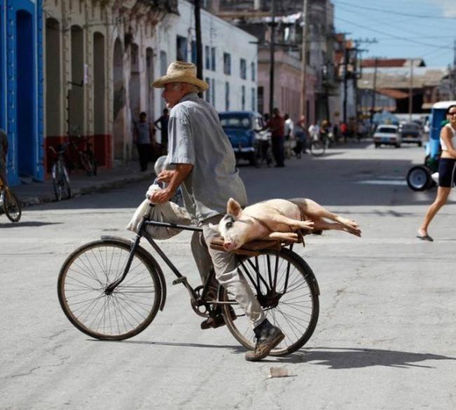Самый удобный способ перевозки свиней