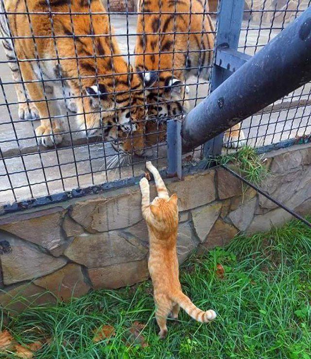 И я почти тигр