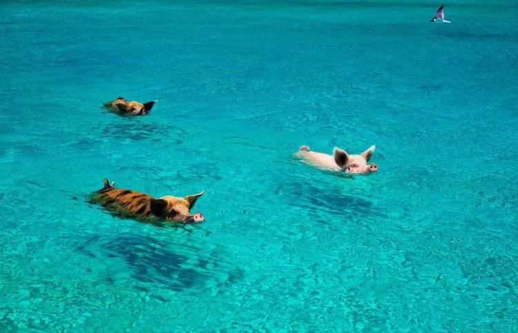 Заплыв свиней в заливе свиней