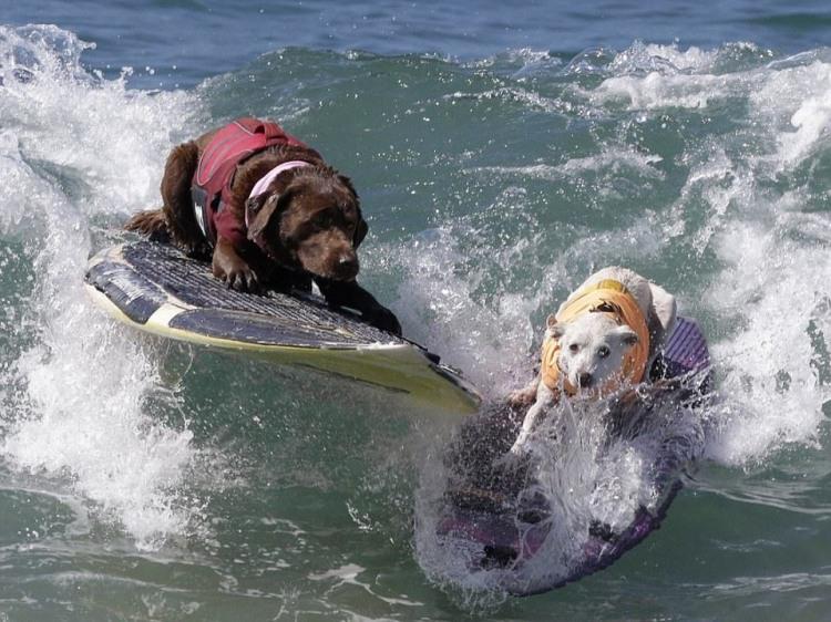 Собаки серфингисты