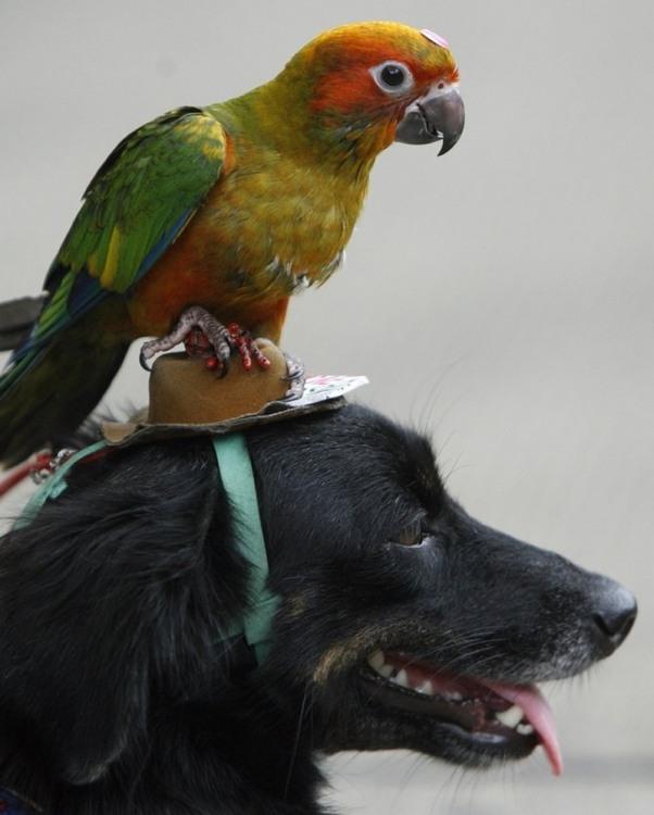 Попугай - всадник собаки