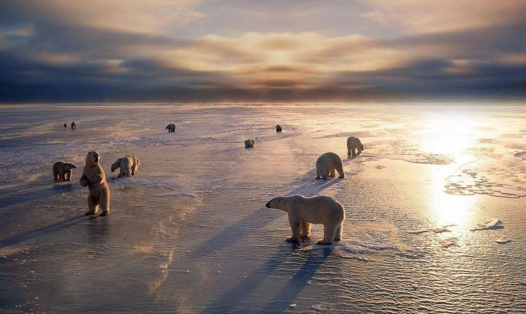 Стадо белых медведей