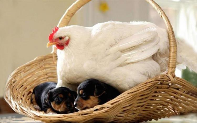 Курица высиживает щенков