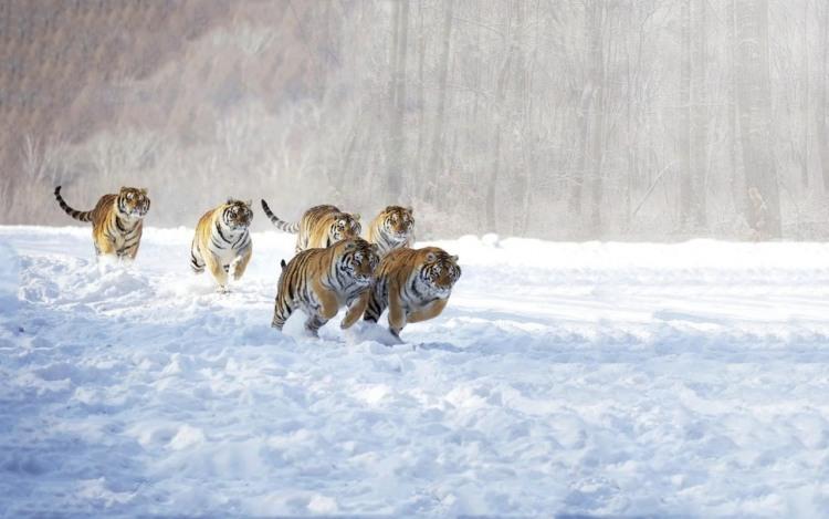 Стадо тигров