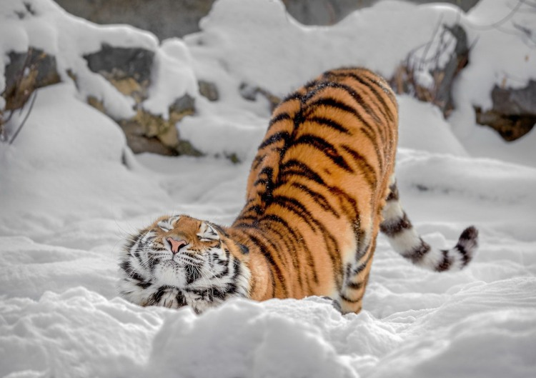 Тигр потягивается как обычный домашний кот