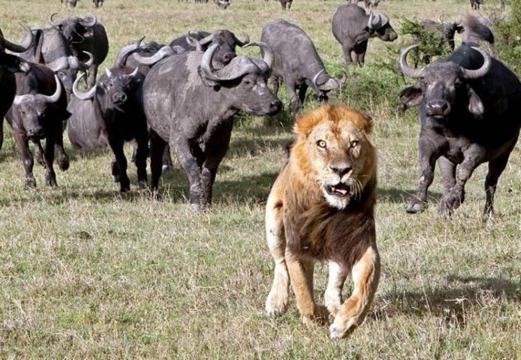 Испугался местных быков