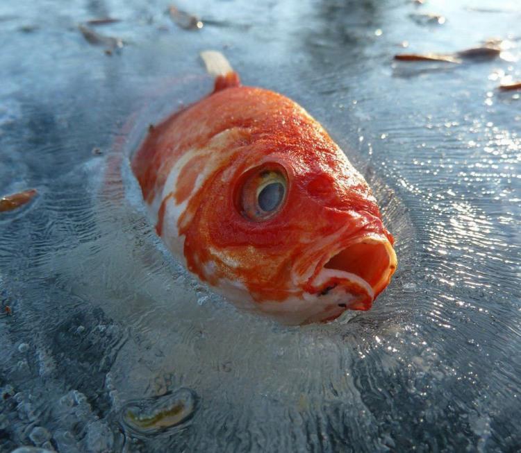 Очень резко похолодало и рыба замерзла во льду
