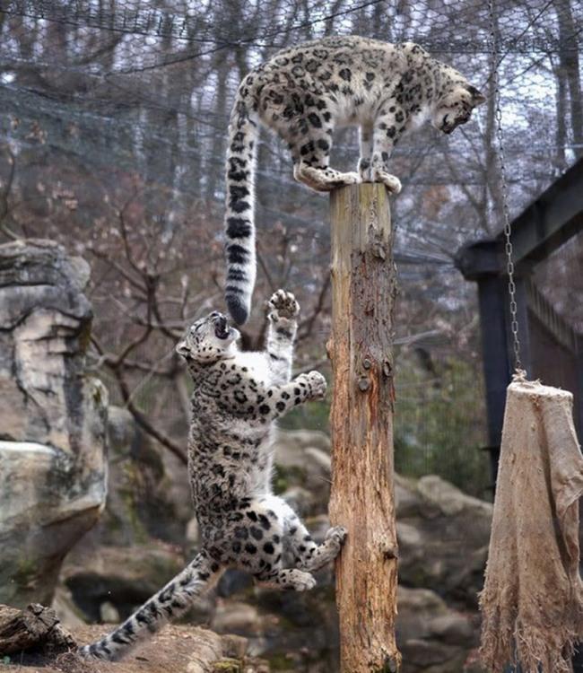 Ягуар играется с хвостом ягуара