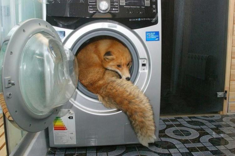 Лиса хочет помытся