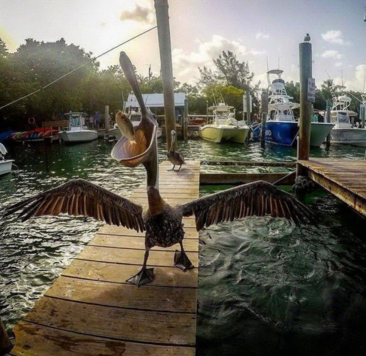 Поймал рыбку  - поделись с пеликаном