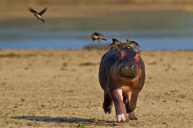 Бегемот и птички