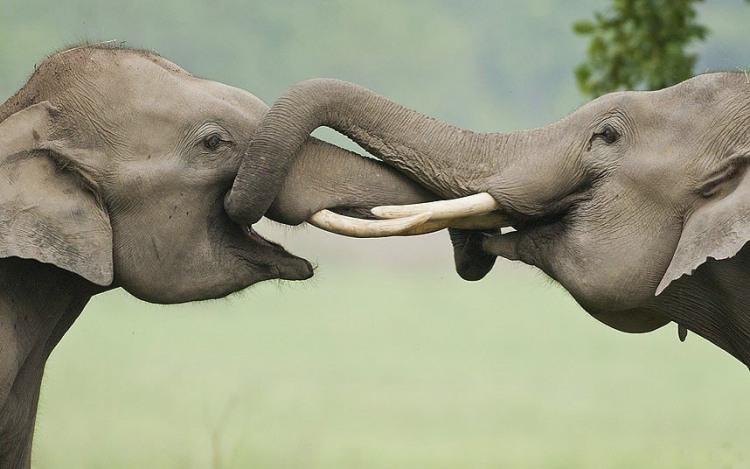 Так слоны целуются