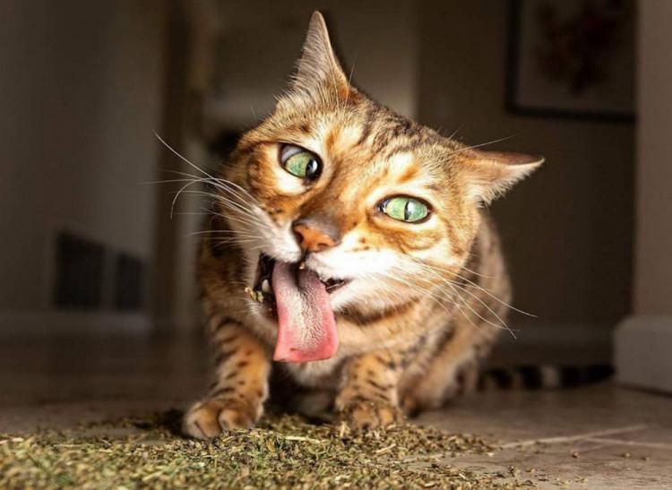 Кота колбасит
