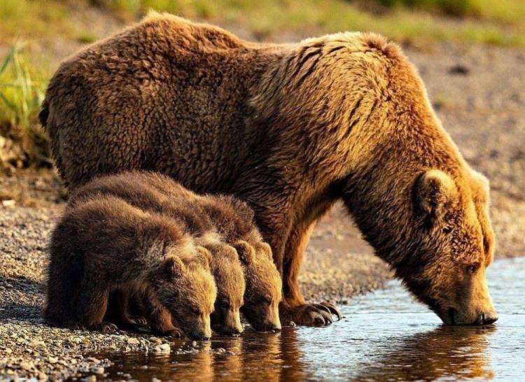 Медведи на водопое